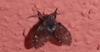 Co je to za létající hmyz  ?