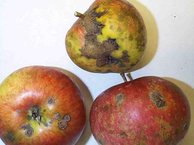 Strupatka jabloňová