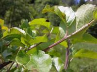 Copak mě to ničí mladé ovocné stromky?