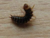 Prosím o radu - hmyz který se mi začíná procházet po domě