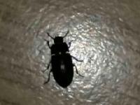 chrobáky v byte