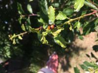 Červený brouk ožírá listy