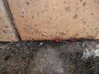 Miniaturní černí skákací broučci podél zdí domu