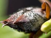 Pycnostysanus azaleae