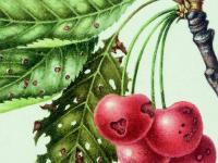 Suchá skvrnitost peckovin